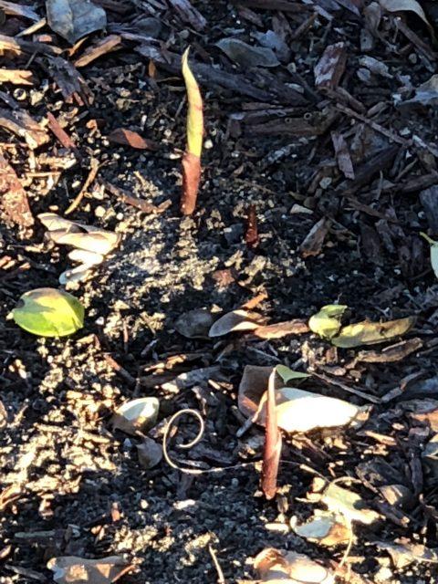Florida caladiums in Spring