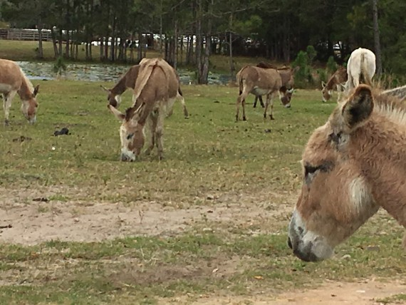 Donkeys near Disney's Magic Kingdom