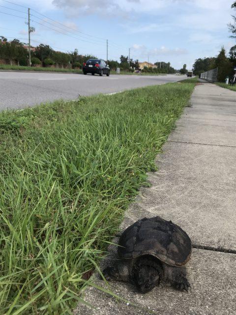 turtle on Florida sidewalk