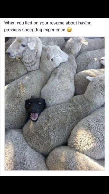 funny dog photo with sheep