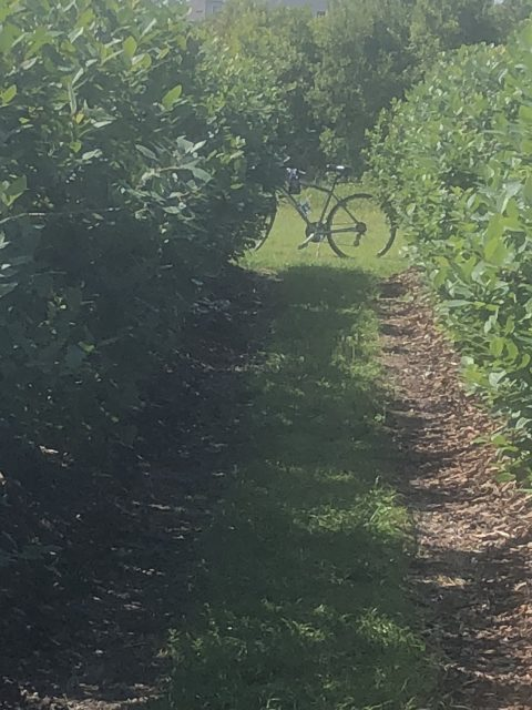 Bicycle in blueberry patch