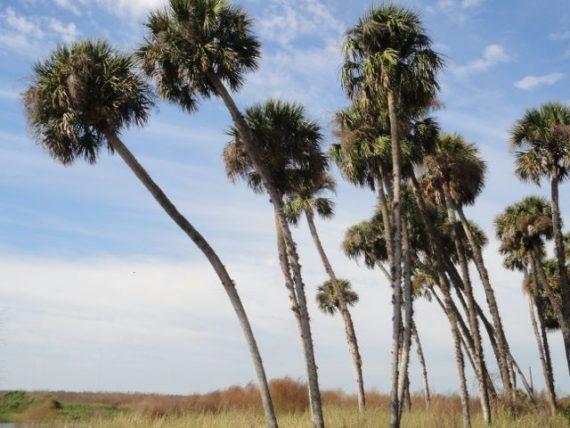 Sable palmetto Palms
