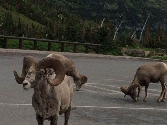 Big Horn Ram Logan Pass
