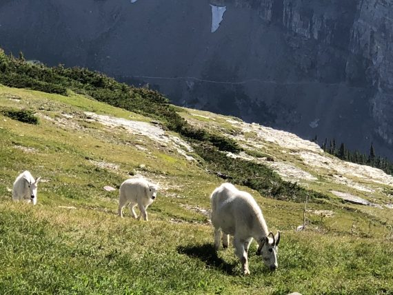 Glacier Park Mountain Goat family