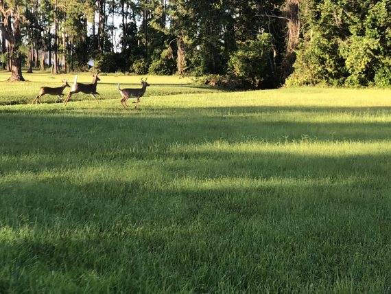 Deer near Walt Disney World