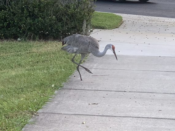 Sand Hill Crane injured