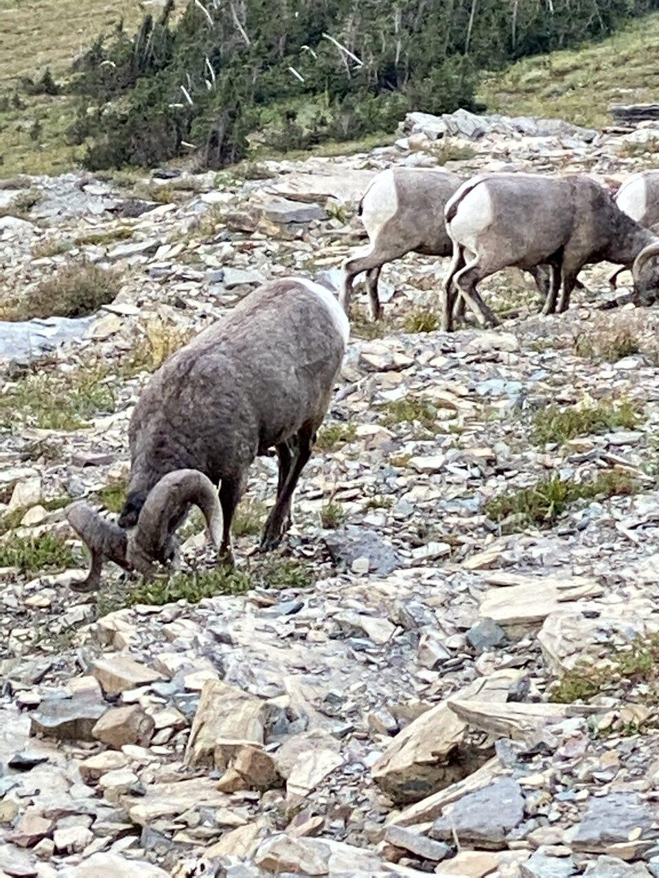 three big horn sheep