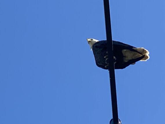 American Bald Eagle on a World Drive light poll